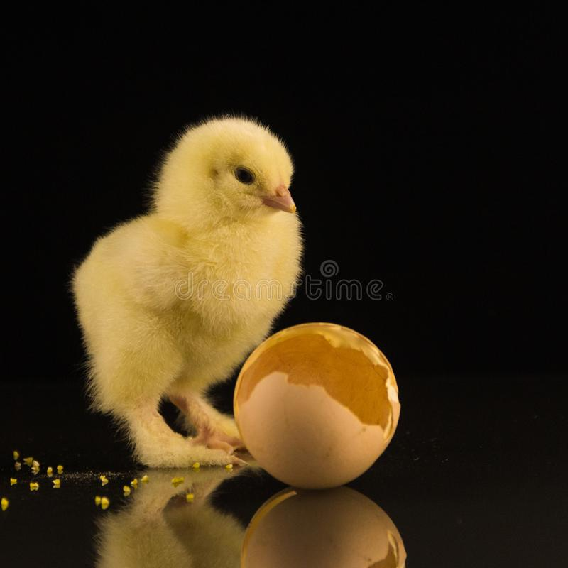 Ein kleines gelbes neugeborenes Huhn mit den rauhaarigen Tatzen auf einem schwarzen Hintergrund stockbilder