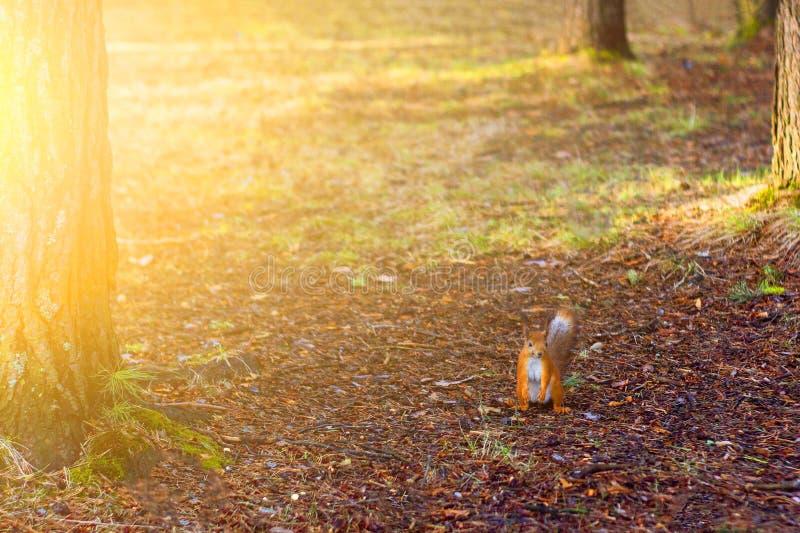 Ein kleines orange Eichhörnchen wirft im Park in den Strahlen der untergehenden Sonne auf lizenzfreie stockbilder