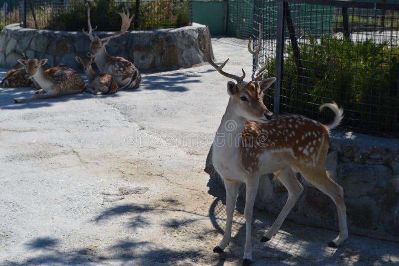 Ein kleines Rotwild geht in den lokalen Zoo im Sommer lizenzfreie stockbilder