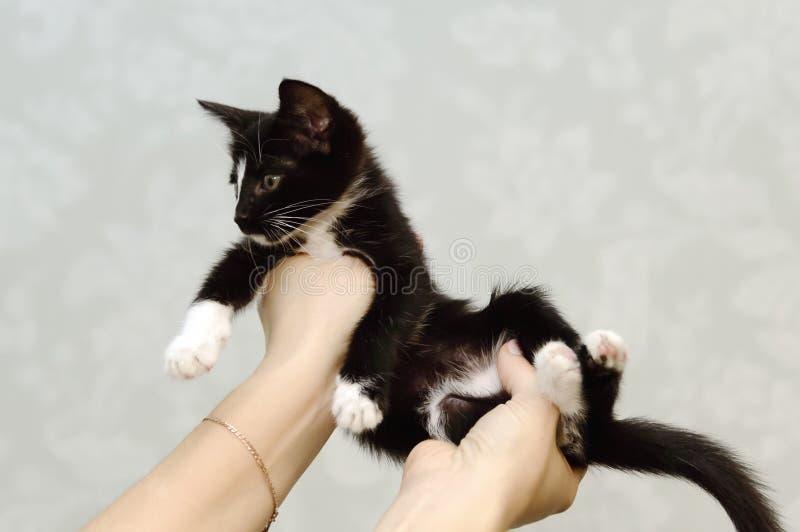 Ein kleines schwarzes Kätzchen mit den weißen Brüsten sitzt auf seinen Händen lizenzfreies stockbild