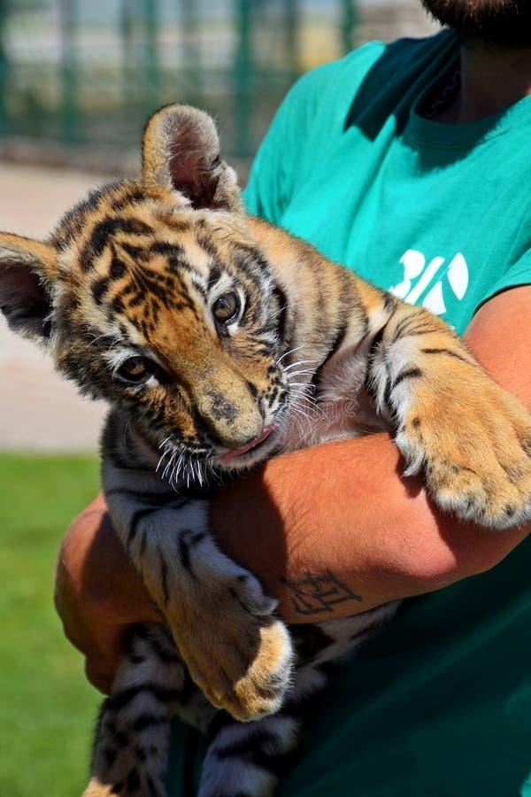Ein kleines Tigerjunges sitzt auf den Händen eines Mannes und betrachtet die Besucher lizenzfreies stockfoto