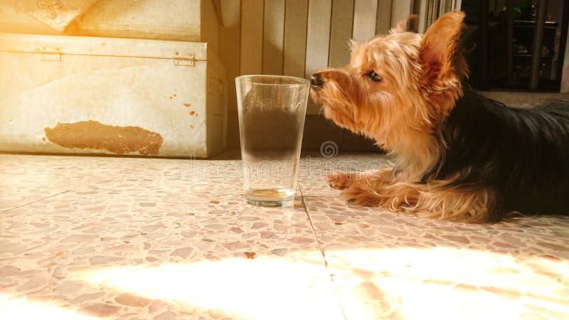 Ein kleines Yorkshire-Terrierhundeschnüffelnglas lizenzfreies stockbild