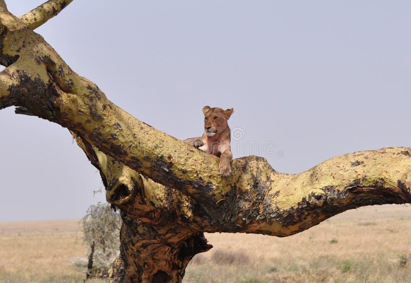 Ein kletternder Löwe des Baums, der auf einer Niederlassung stillsteht lizenzfreies stockfoto