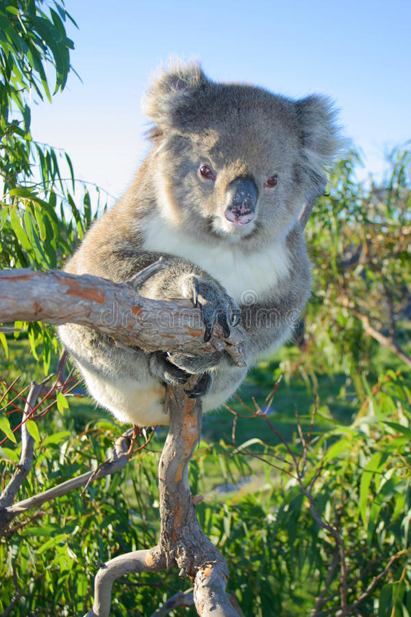 Ein Koala, der in einem Eukalyptus sitzt australien stockbild