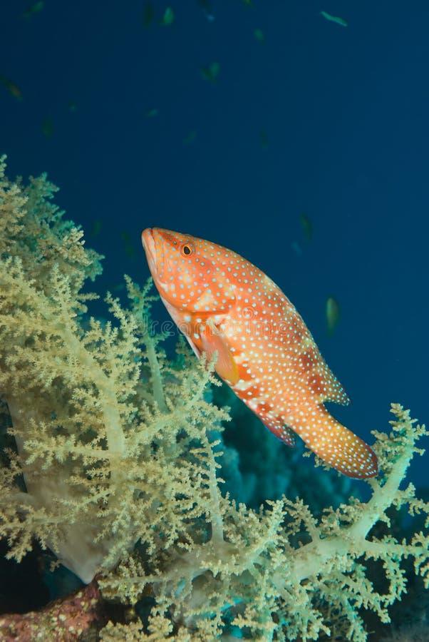 Ein korallenrotes Hinter- oder ein Barsch und eine weiche Koralle lizenzfreie stockfotos