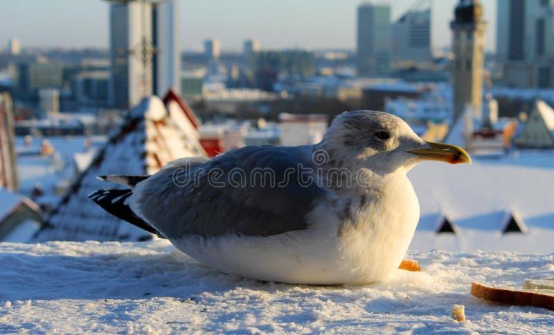 Ein Kormoran, der auf Schnee sitzt lizenzfreie stockfotografie