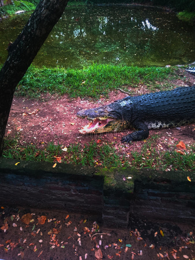 Ein Krokodil lizenzfreies stockbild