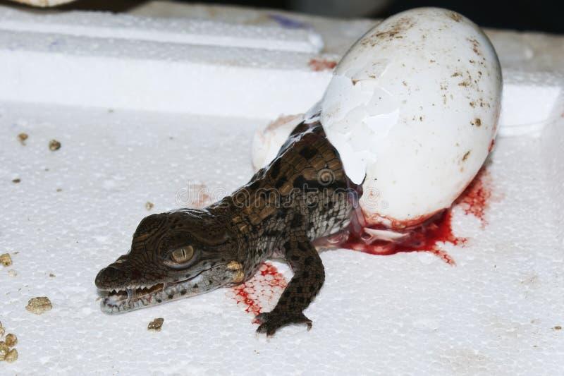Ein Krokodil, das von einem Ei an einem Krokodilbauernhof ausbrütet lizenzfreie stockfotos