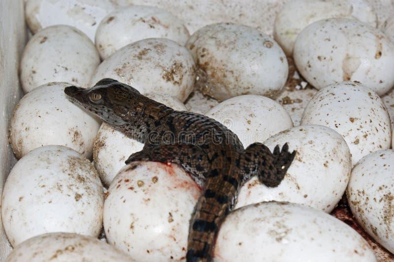 Ein Krokodilhatchling und -eier an einem Krokodilbauernhof stockfotos
