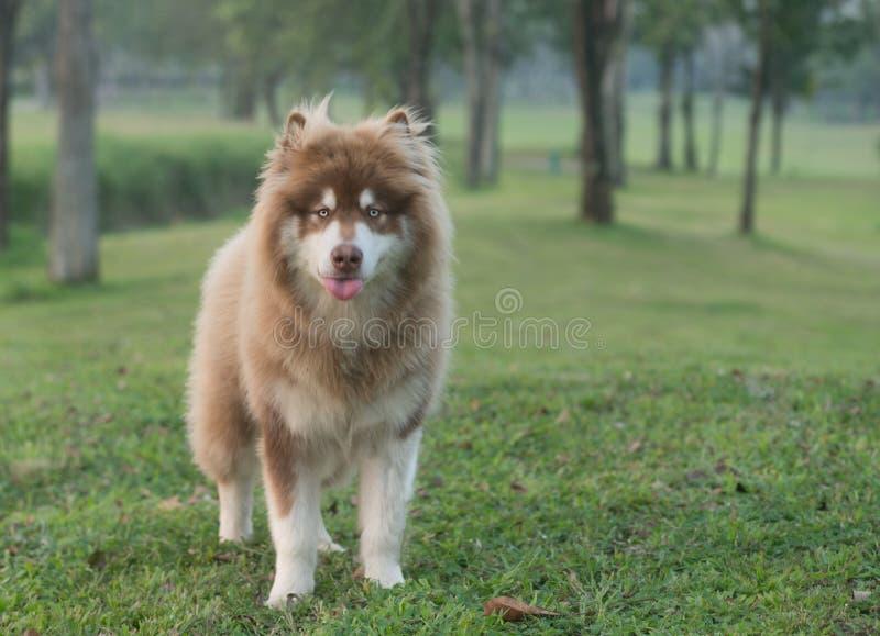 Ein kupferner brauner Hund des alaskischen Malamute, der auf einem grünen Gras steht stockfoto