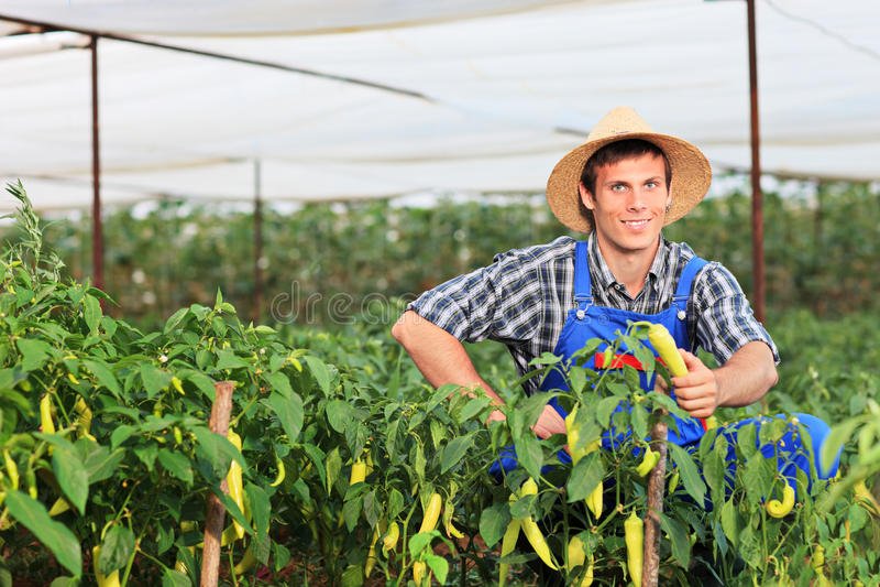 Ein lächelndes Gärtnersammeln peppers in einem Garten stockbild