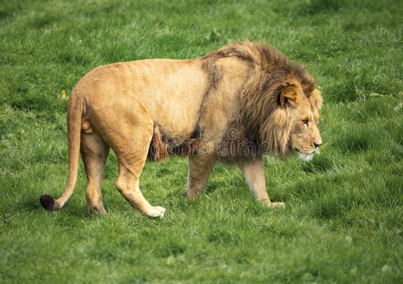 Ein Löwe dreht sich beim heraus sich anpirschen lizenzfreie stockfotos