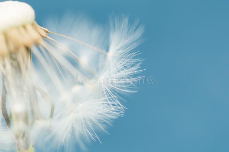 Ein Löwenzahn-Samen-Kopf gegen einen blauen Hintergrund lizenzfreies stockfoto