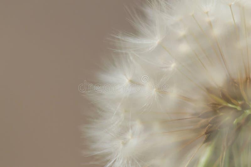 Ein Löwenzahn-Samen-Kopf gegen einen Mokkabraunhintergrund lizenzfreie stockbilder