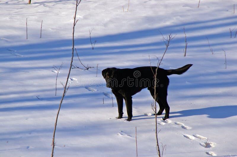 Ein Labradore-Retriever im Schnee lizenzfreie stockfotografie