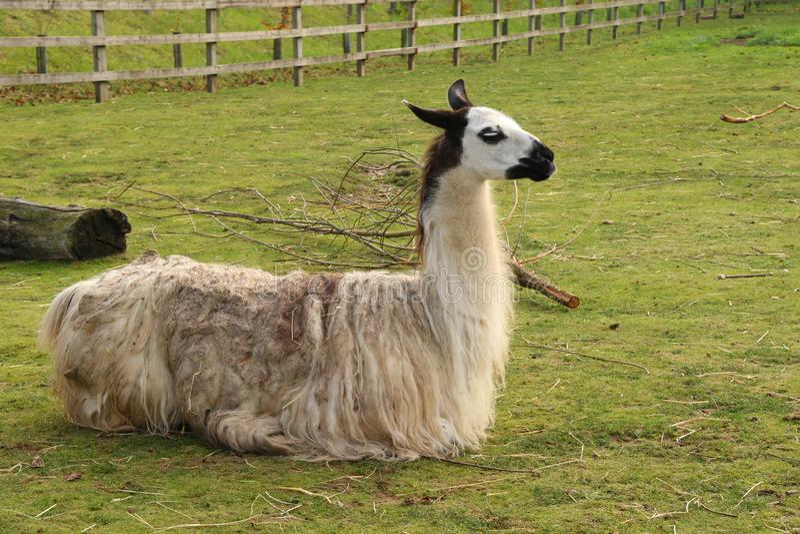 Ein Lama an Banham-Zoo lizenzfreies stockbild