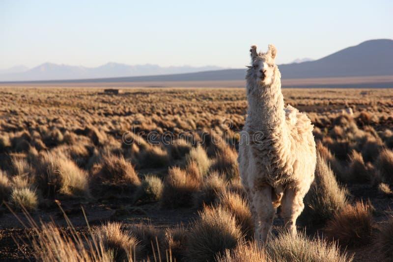 Ein Lama untersucht die Linse im Altiplano in Bolivien lizenzfreie stockbilder