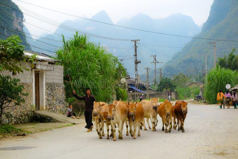 Ein Landwirt, der mit seiner Herde von Kühen, Nord-Vietnam, Hà Giang geht stockbilder