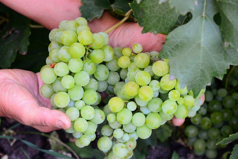 Ein Landwirt hält eine Weintraube in seinen Händen Ein Landwirt zeigt Trauben Traubenernte Ausgangsgartenarbeitfoto lizenzfreie stockbilder