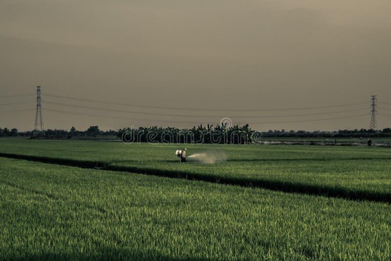 Ein Landwirt sprüht Insektenvertilgungsmittel, auf den Reisgebieten, wenn er Landwirtschaftsprozeß in Thailand glättet lizenzfreie stockbilder