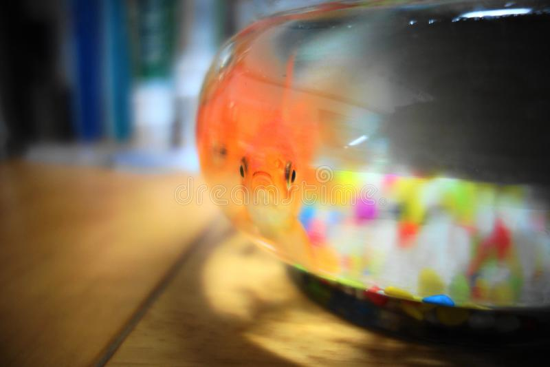 Ein langer Schnurrbartgoldfisch lizenzfreies stockbild