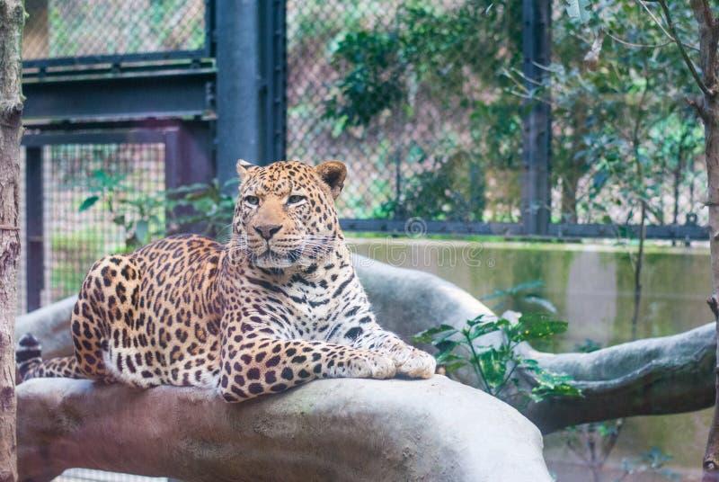 Ein Leopard, der auf der künstlichen Niederlassung im Zoo schaut die andere Weise sitzt stockbild