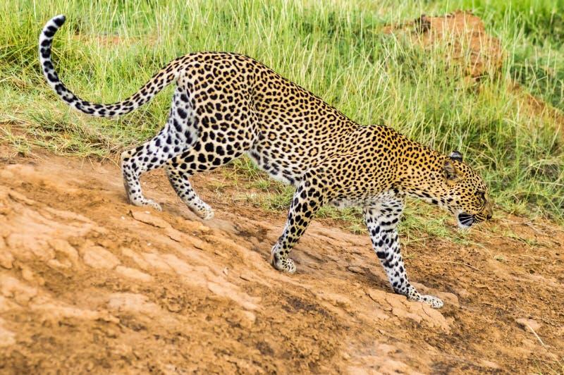 Ein Leopard, der in den Wald in Samburu-Park geht stockfotos