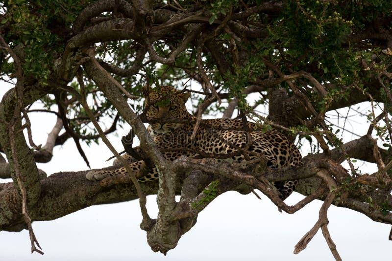 Ein Leopard liegt auf den Niederlassungen eines Baums stockbild