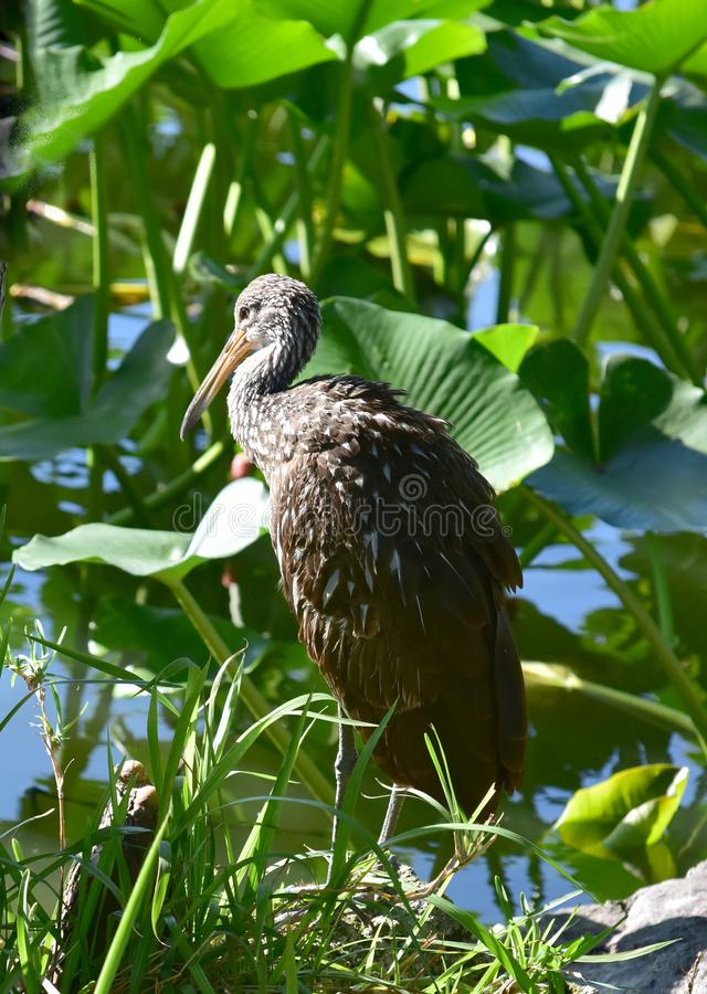 Ein limpkin auf dem See Eine große und mannigfaltige Anzahl von Vögeln machen See Morton ein Haus lizenzfreies stockbild