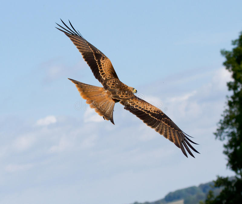 Ein long-legged Bussard lizenzfreie stockfotos