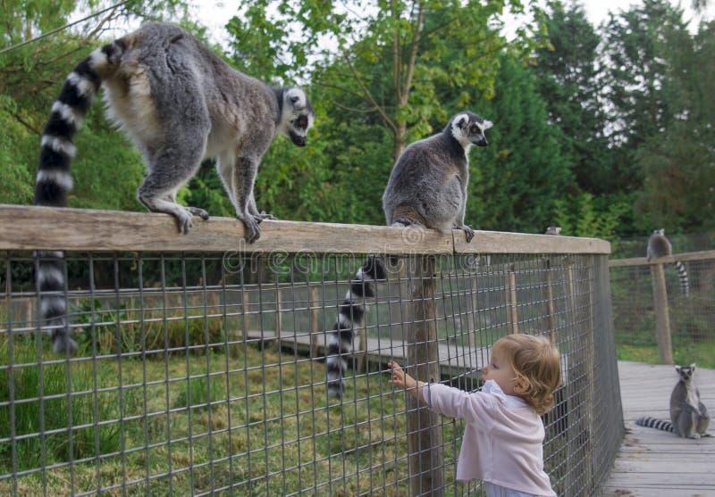 Ein Mädchen im Zoo möchte das Endstück eines Makis berühren stockbilder