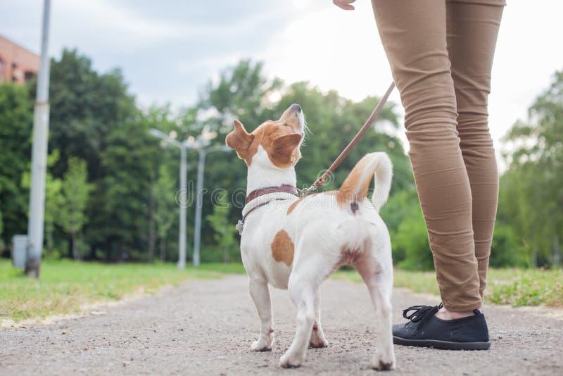 Ein Mädchen mit einem Hund auf einer Leine Jack Jack Russell Terriers geht entlang die Gasse stockbilder