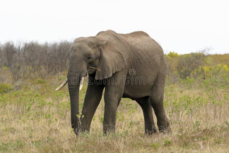 Ein männlicher afrikanischer Elefant an Boteilierskop-Reserve 2 stockfoto