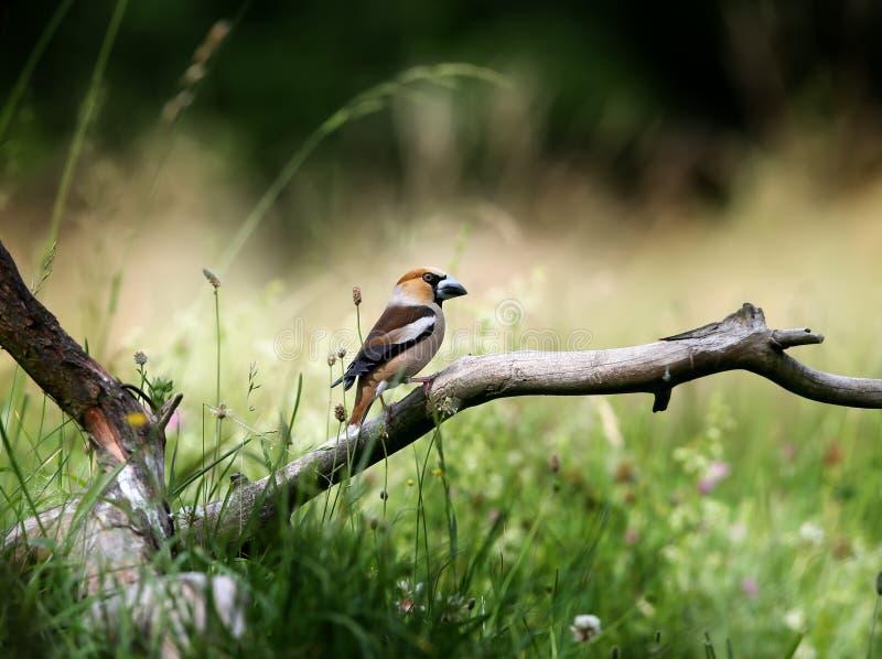 Ein männlicher Hawfinch Coccothraustes Coccothraustes stockfotografie