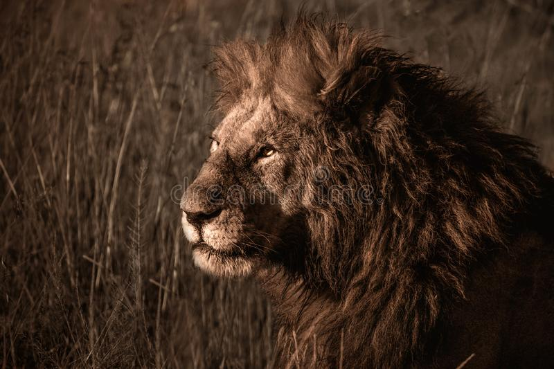 Ein männlicher Löwe, der im Gras stillsteht lizenzfreie stockfotografie