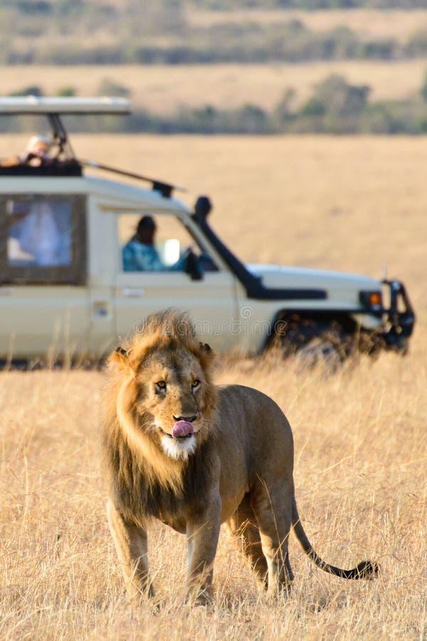 Ein männlicher Löwe, der seine Zunge haftet stockbilder