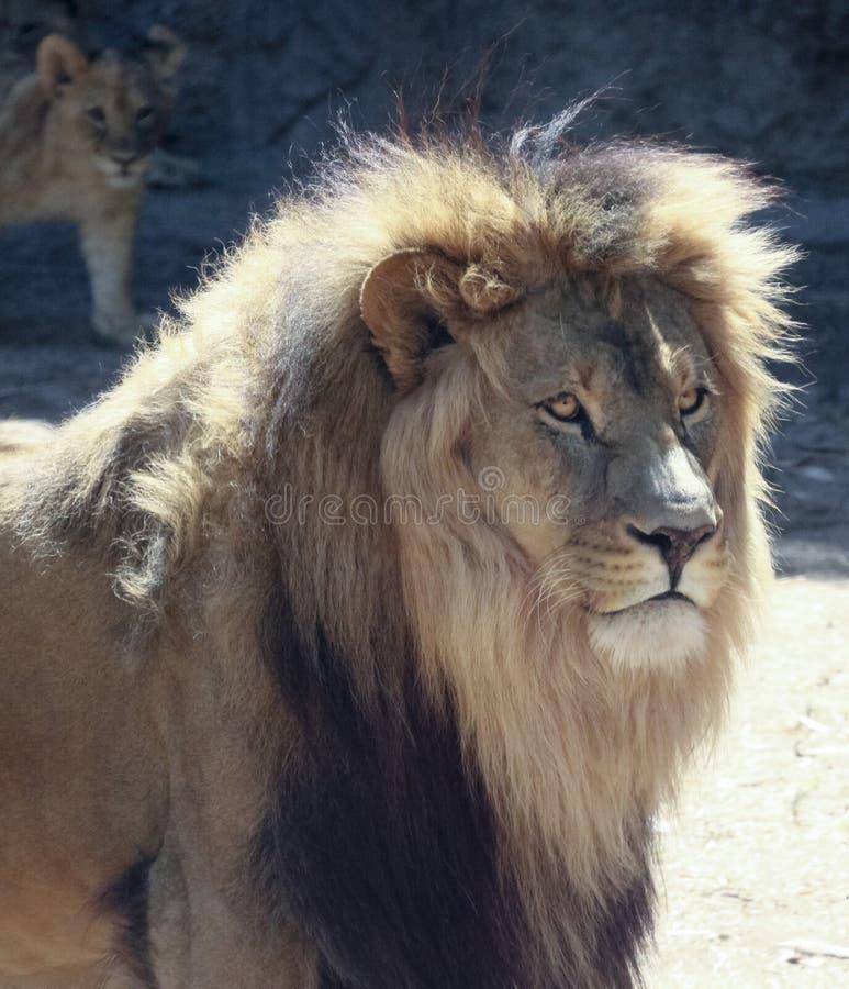 Ein männlicher Löwe mit einer sonnenbeschienen Mähne stockfotografie