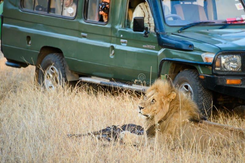 Ein männlicher Löwe mit seinem Opfer stockbilder
