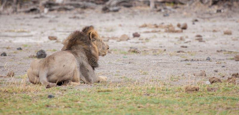 Ein männlicher Löwe steht, Savanne von Kenia still stockbilder