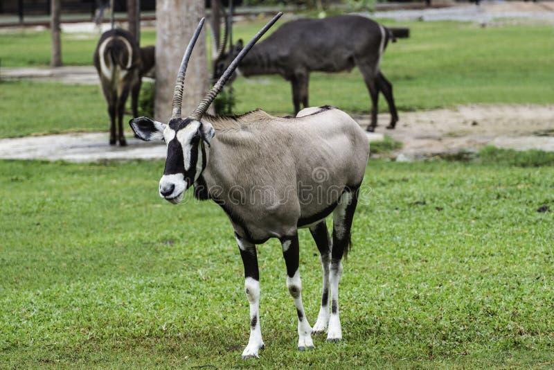 Ein männlicher Nyala ist offener Zoo Khao Kheow stockfotografie