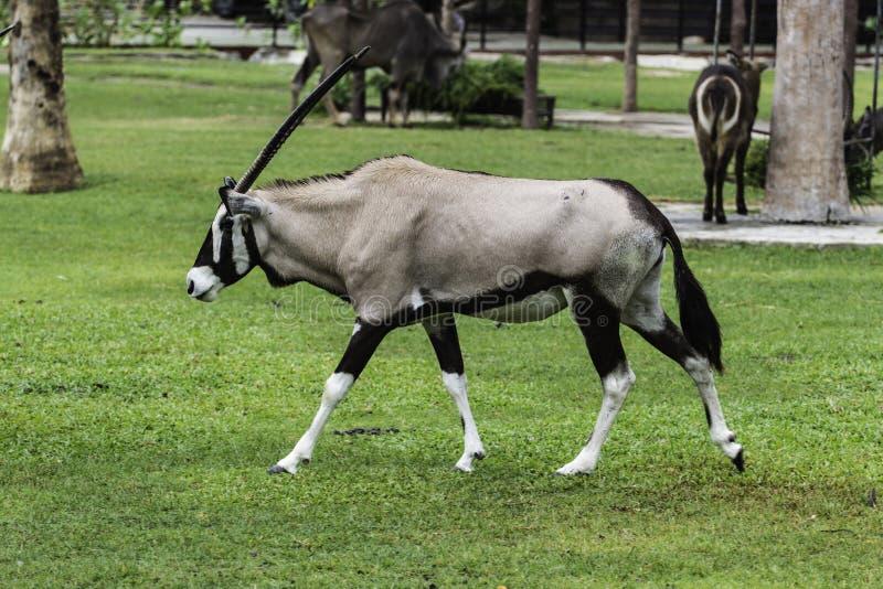 Ein männlicher Nyala ist offener Zoo Khao Kheow stockbilder