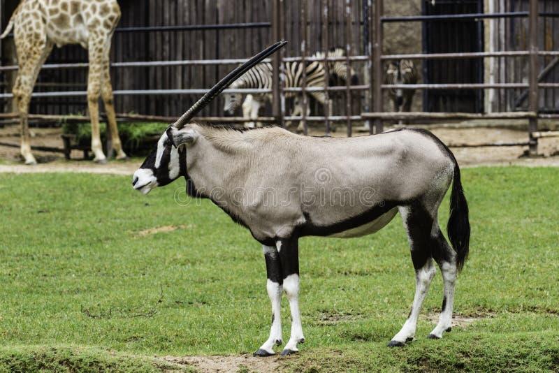 Ein männlicher Nyala ist offener Zoo Khao Kheow lizenzfreie stockbilder