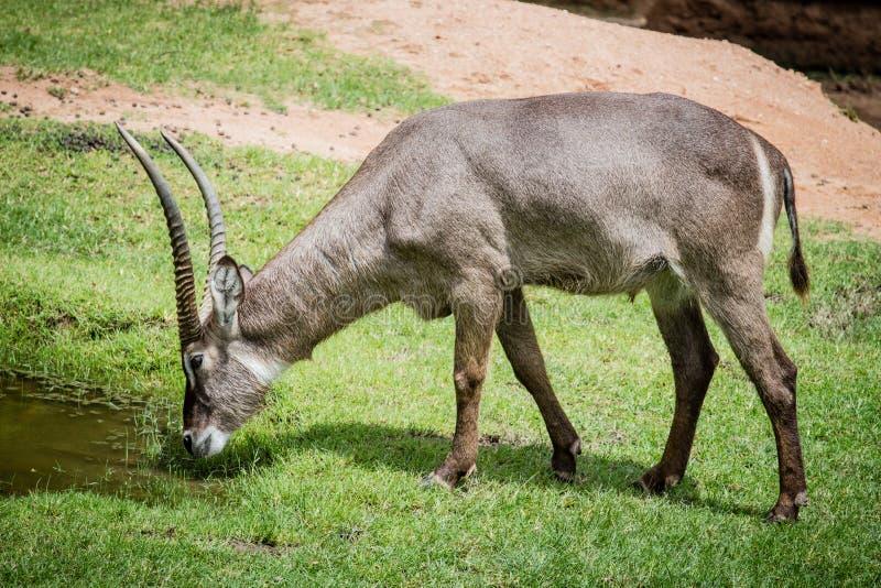 Ein männlicher Nyala ist offener Zoo Khao Kheow lizenzfreie stockfotos