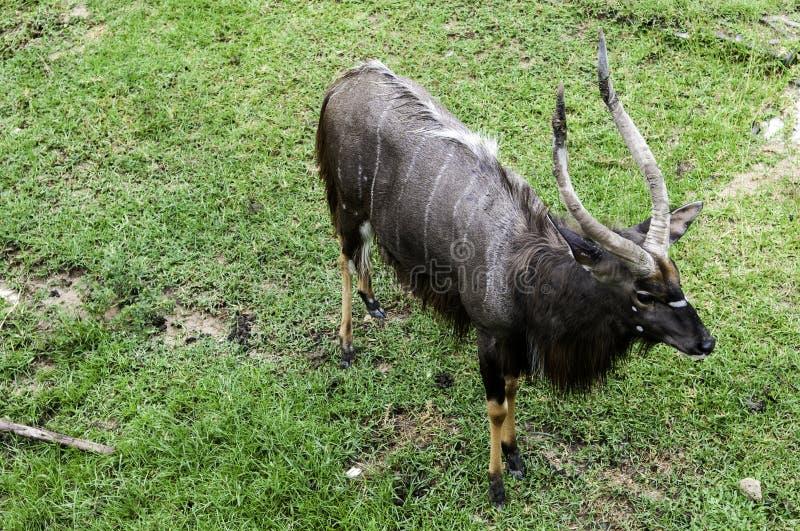 Ein männlicher Nyala ist offener Zoo Khao Kheow stockfoto