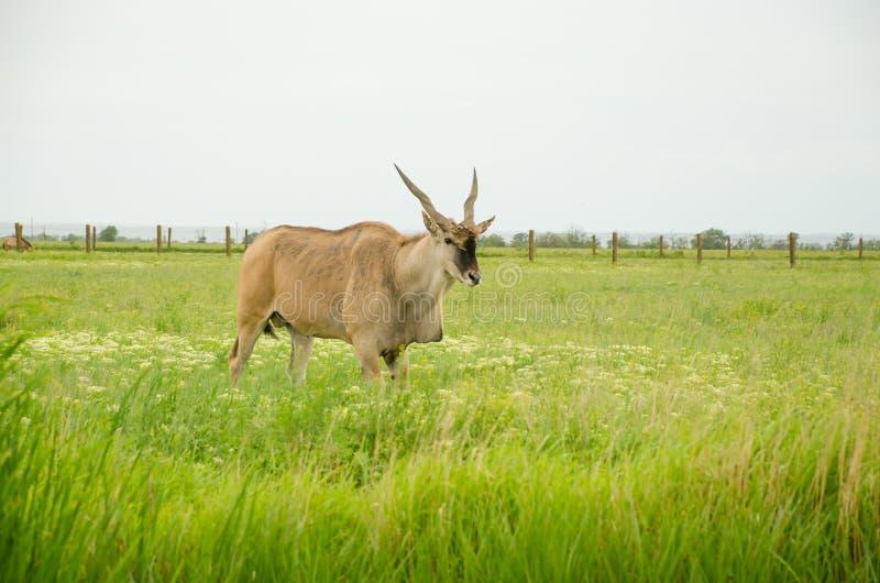 Ein männliches Antilope canna auf einem grünen Feld lizenzfreie stockfotografie