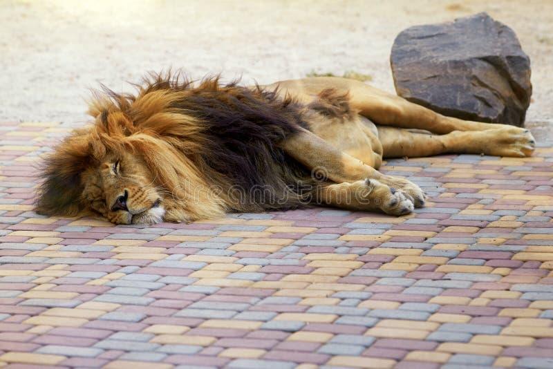 Ein müder Löwe schläft in den Schatten lizenzfreies stockfoto