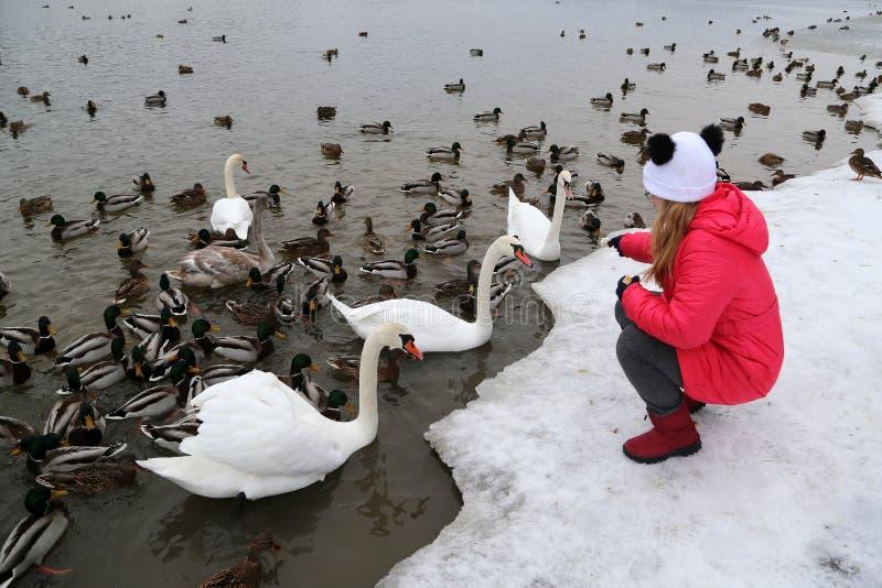 Ein M?dchen zieht Wasserv?gel auf dem Ufer von einem See im Winter ein lizenzfreie stockfotos