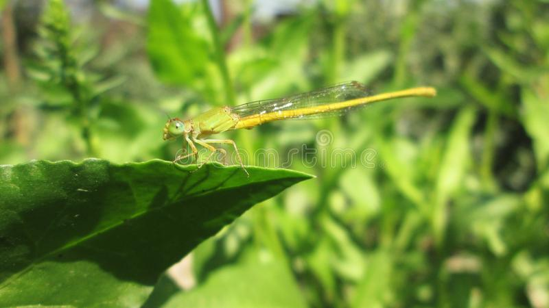 Ein Makro der Libelle sitzend auf grünem Blatt stockbilder