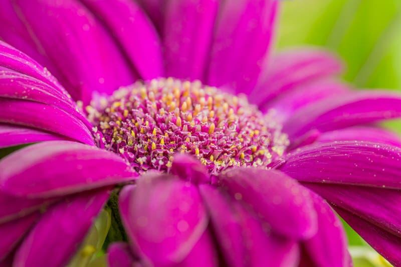 Ein Makroschuß der purpurroten Blume lizenzfreie stockbilder