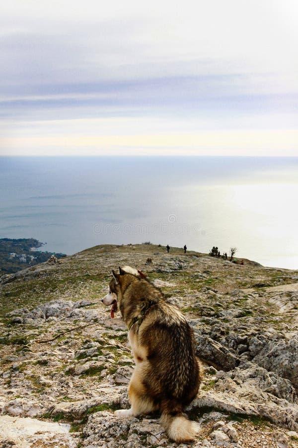 Ein Malamutezuchthund sitzt auf eine Klippe und Blicke in Richtung zum Meer und zu den Bergen Sch?ne Haustiere stockfoto